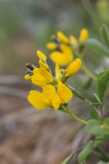 Golden Pea, or possibly Prairie Golden Banner in late April at Weatherman Draw