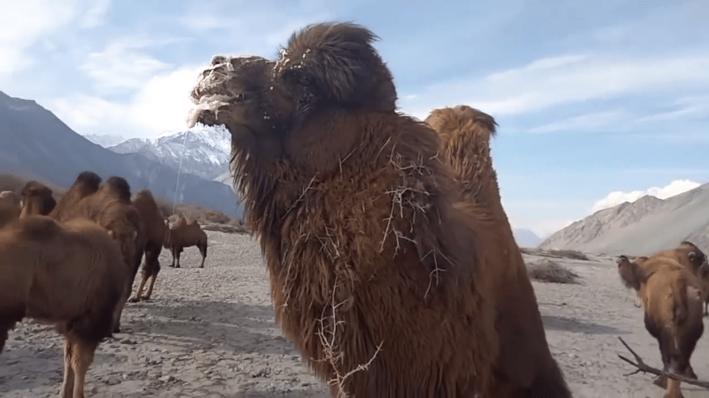 camels for real