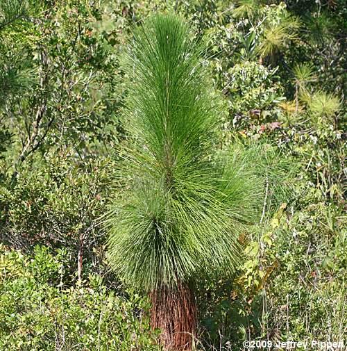 Sandhills Pine Cones