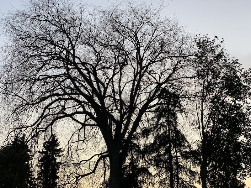 tree branches at Green Lake, near the bats