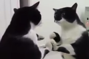 cat looking at itself in mirror