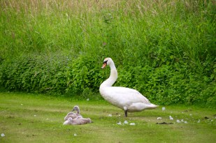 Swan, with four cygnets, each preening.