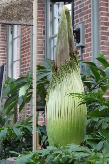 The corpse flower is going to bloom any day now.