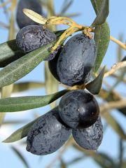 The Amazing Olive Leaf