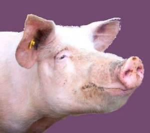 Pig Natural Desiccated Thyroid Naturethroid RLC Labs