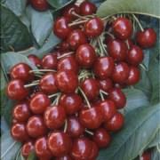 The FDA Raids the Cherry Orchards