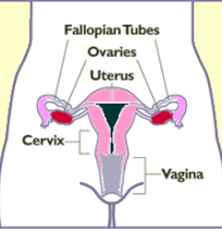 FemaleUterusovaries