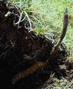 Caterpillar Fungi Species Cordyceps