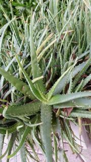 Aloe Vera for Healing Leaky Gut and Fibromyalgia