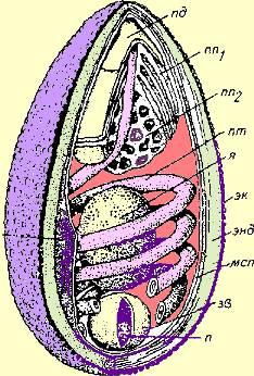 Microsporidian_spore_wikimedia_color