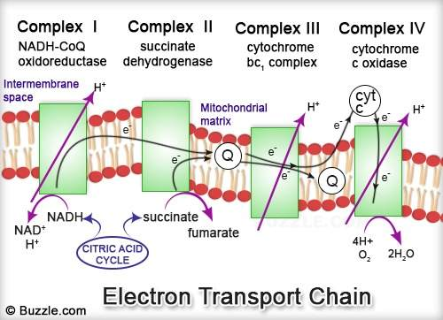electron-transport-chain alpha lipoic acid