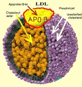 ApoB particle LDL Cholesterol Jeffrey Dach MD