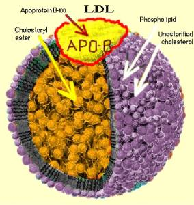 ApoB particle LDL Cholesterol Jeffrey Dach MD