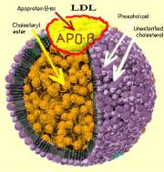 LDL Cholesterol Particle Size and Number What Gives