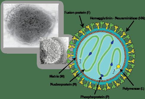 measles virus vaccine exemption Paramyxoviridae