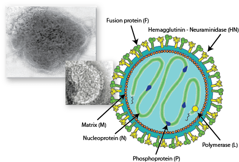 measles virus vaccine exemption Paramyxoviridae