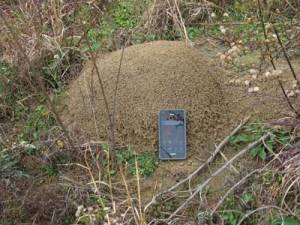 fire-ant-mound