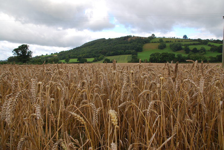 our straw crop is locally sourced