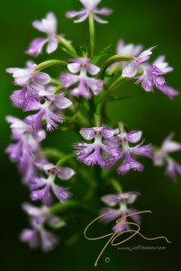 Close up photo of a cluster of purple fringed orchids. Vertical image of these purple flowers with a vibrant green background