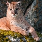 Cougar Staring - Jeff Wendorff Photographer