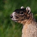 Sherman's Fox Squirrel, Sciurus niger shermanii - Jeff Wendorff Photographer