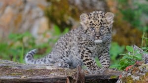 Amur Leopard Kitten - Baby Wildlife Photography Workshop 2012 photographed by Jeff Wendorff