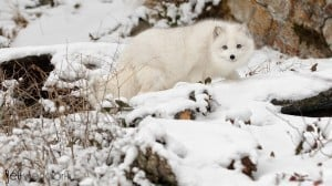 Arctic Fox photographed at Winter Wildlife Photography Workshop photographed by Jeff Wendorff
