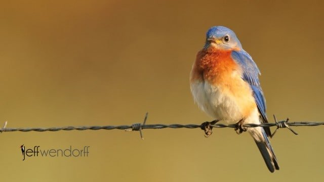 Thrushes bird photography, Male Eastern Bluebird photographed by Jeff Wendorff