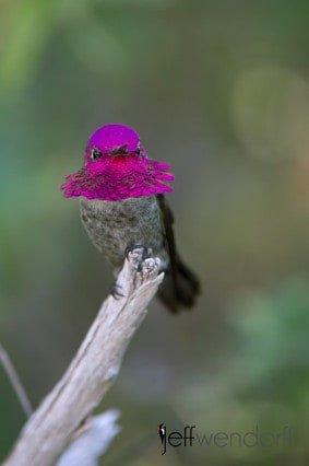 Bird Photography: Anna's Hummingbird, Calypte anna at Arizona Sonora Desert Museum by Jeff Wendorff