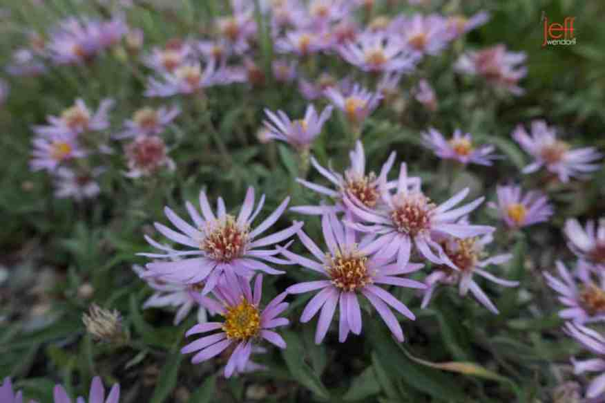 Leafy Aster along Swiftcurrent Trail - Glacier Park photographed by Jeff Wendorff