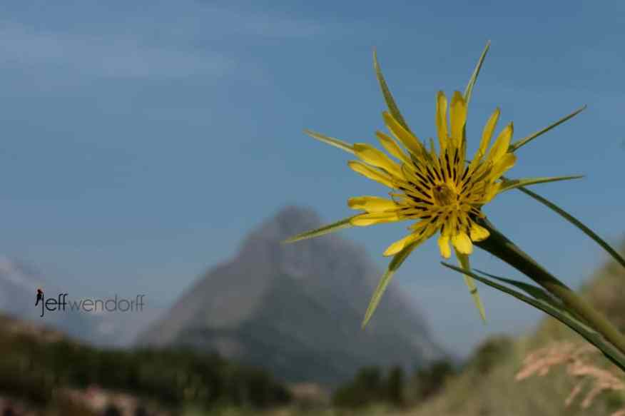 Yellow Salsify from Swiftcurrent Trail with Mt. Grinnell in the background - Glacier Park photographed by Jeff Wendorff
