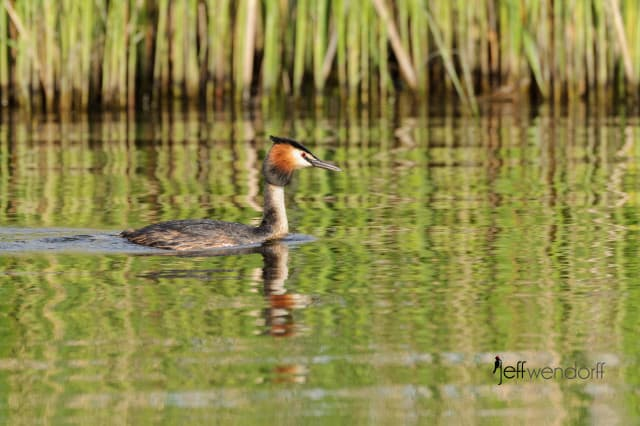 Great Crested Grebe, Podiceps cristatus photographed by Jeff Wendorff