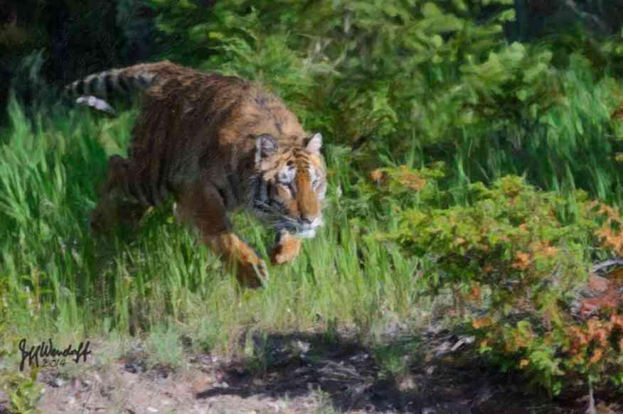 Wildlife Art - Charging Tiger created by Jeff Wendorff