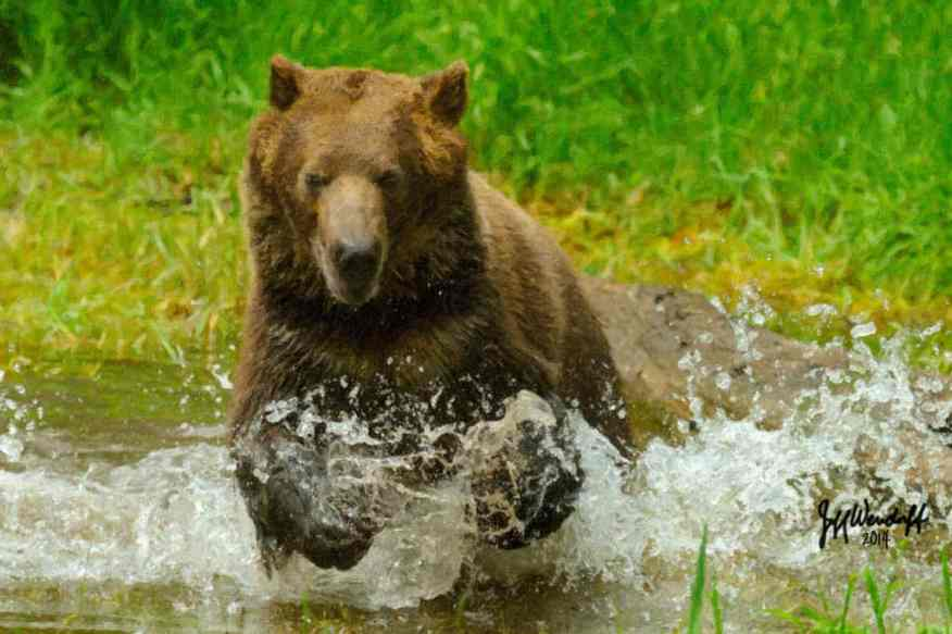 Wildlife Art - Mock Charged by a Grizzly Bear created by Jeff Wendorff