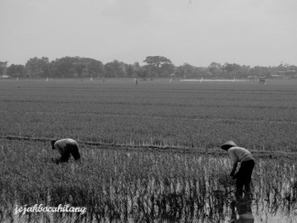rice field in Mojolaban
