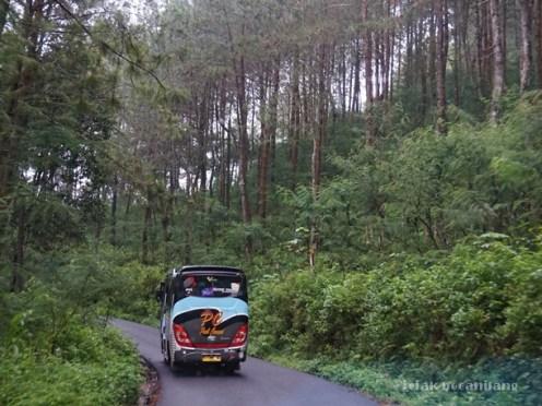 Hutan pinus menuju Dieng dari Banjarnegara