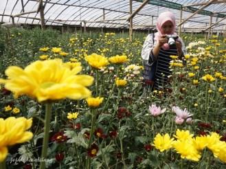 kebun bunga krisan