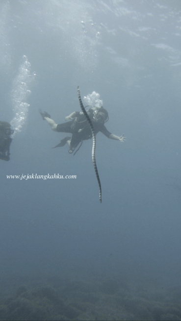 sea snake diving Gili Lombok