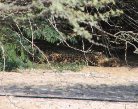 More cheetahs