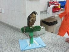 A Hobby Falcon