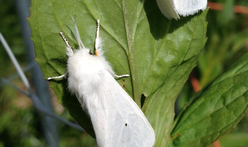white moths