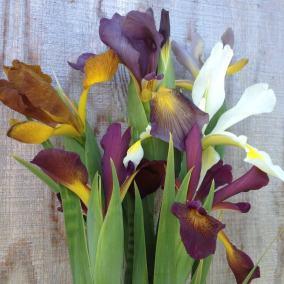 Spuria Iris cut flowers