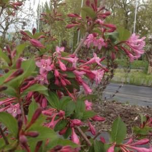 Weigela Pink Princess cut flower