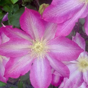 Clematis, pink