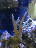 This icetort Acropora has grown significantly since I first was given it.