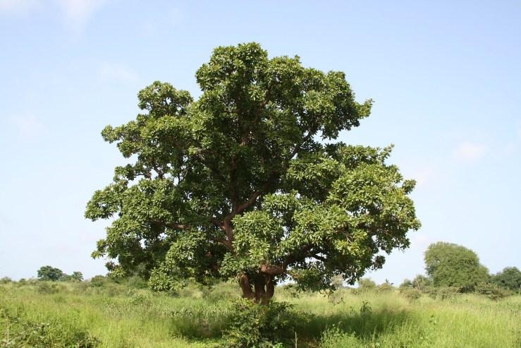 kariderm avis arbre de karité