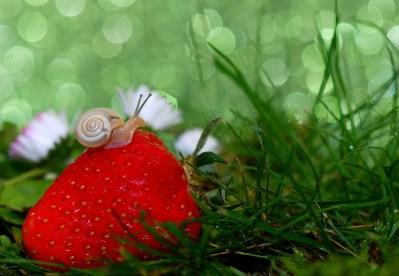 escargot consommant une fraise avec délice