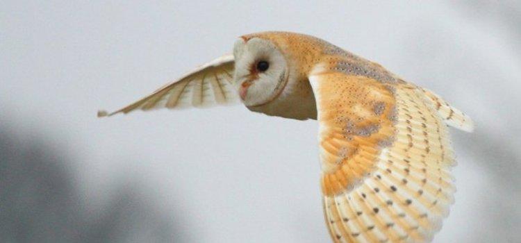 Barn Owl – Travelling companion #30DaysWild