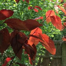 prunus leaves