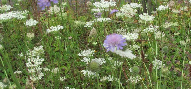 My Wildflower Garden #30DaysWild